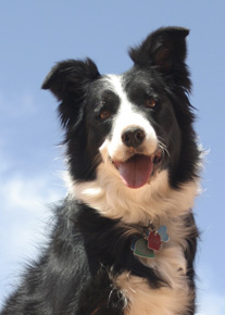 Molly the Super Border Collie