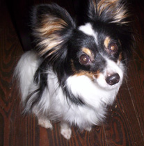 Artie the tri-clored Papillon