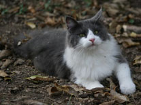 Zee, long hair indoor/outdoor, grey and white cat enjoying the fall leaves